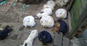 cães maltratados carapicuíba