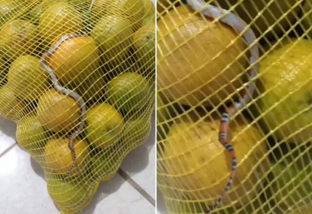 cobra saco laranja